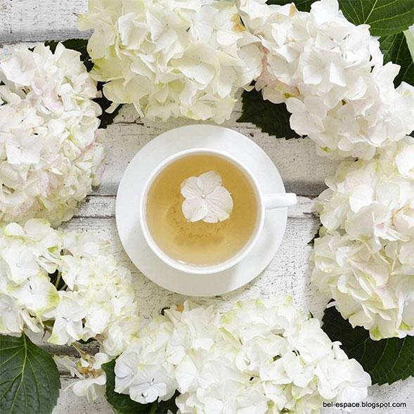 hortensienbilder